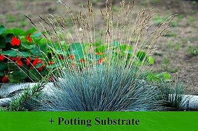 SAFLAX  - Blue Mountain Grass - Festuca - 50 seeds - With soil