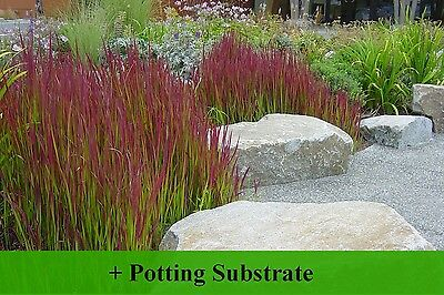SAFLAX  - Cogongrass - Imperata - 50 seeds - With soil