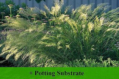 SAFLAX  - Feather Grass / Pheasant's Tail Grass - Stipa - 50 seeds - With soil