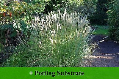 SAFLAX  - Chinese Silver Grass - Miscanthus - 200 seeds - With soil