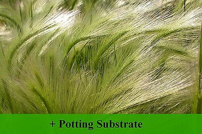 SAFLAX  - Foxtail Barley / Squirrel Tail - Hordeum - 70 seeds - With soil