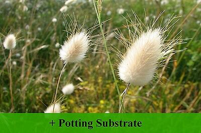 SAFLAX  - Bunny Tail Grass - Lagurus - 100 seeds - With soil