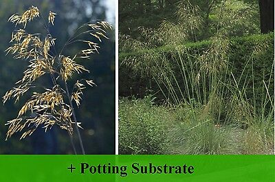 SAFLAX  - Giant Feather Grass - Stipa - 10 seeds - With soil