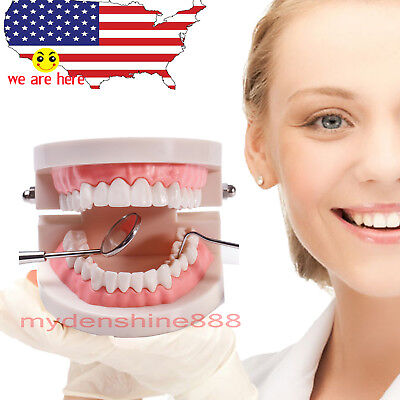 dentist  & school Teach Study Adult Standard Typodont Demonstration Teeth Model