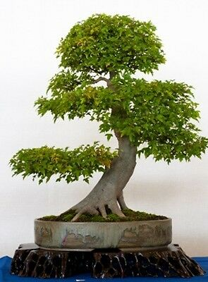 Acer buergerianum (Trident Maple) - Large / Trade Packet - 100 seeds.