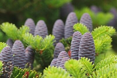 Abies koreana (Korean Fir) - 20 seeds. Violet blue cones even on young trees!