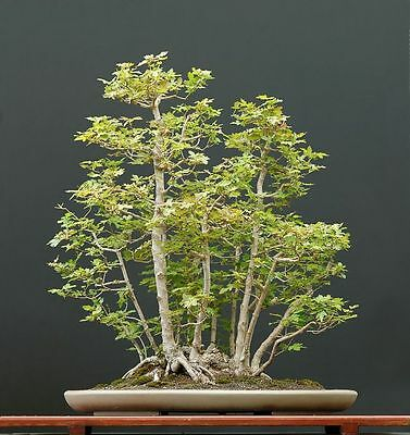 Acer campestre (Field Maple) - Large/Trade Packet - 250 seeds. Hedging / Bonsai.