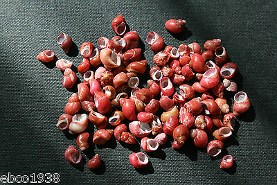 Small Red Pheasant Shells