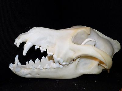 Real European Wolf ( Canis Lupus )Skull Taxidermy ,Trophy with permit