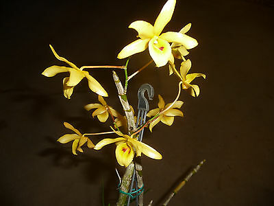 Orchid. Collectable. dendrobium friedericksianum. Flowering size.