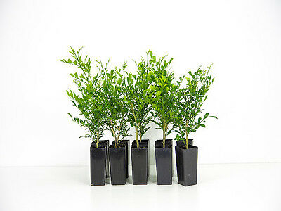 Murraya min-a-min 10 Plants Great perfumed hedge 1.5-2 metres with white flowers