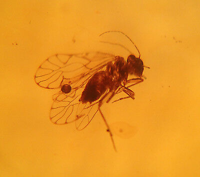 A101 DR8314 Beautiful Psocoptera in Authentic Dominican Amber Gemstone