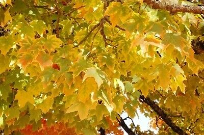 Acer platanoides (Norway Maple) - 30 seeds. Majestic tree for garden or Bonsai.