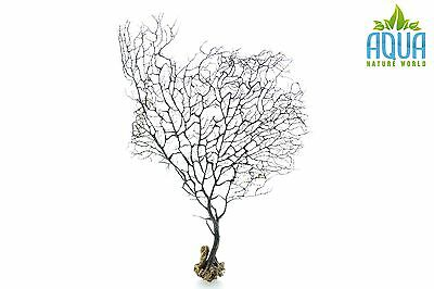 (A-5698) Real Atlantic Dried Coral  (Ornament Fish Tank,red moor,bogwood) Size M