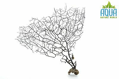 (A-5713) Real Atlantic Dried Coral  (Ornament Fish Tank,red moor,bogwood) Size M