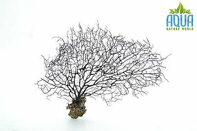 (A-5714) Real Atlantic Dried Coral  (Ornament Fish Tank,red moor,bogwood) Size M