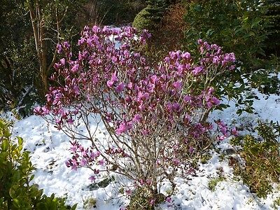 LIVE earliest large blossom bush in North Rhododendron Sichotense -34C; -30F