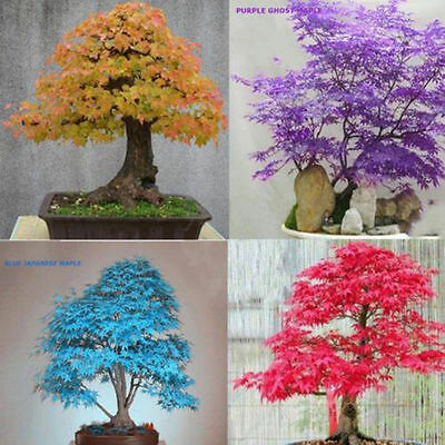 20x Blue Red Purple Leaf JAPANESE MAPLE Palmatum Atropurpureum Bonsai Seeds