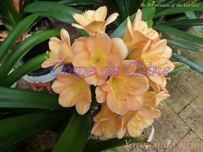House Plant - Clivia  - Crepe de Chine - 2 Sprouted Seeds