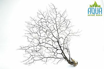 (A-5724) Real Atlantic Dried Coral  (Ornament Fish Tank,red moor,bogwood) Size L