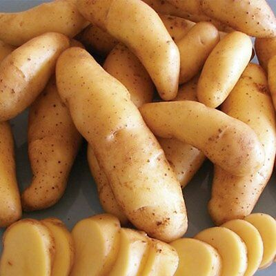 Ratte 2nd Early Seed Potatoes