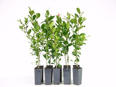 Syzygium Resilience Lillypilly x 80 plants Fast Growing Native Screen/  Hedge 4m