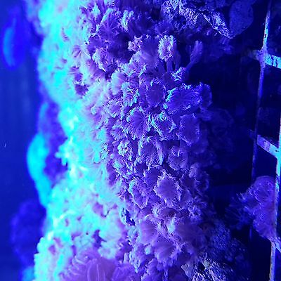pulsing xenia large frags good beginner marine coral