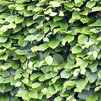 10 x Green Beech - LARGE!  Bare Root Hedging plants   INCLUDES FREE DELIVERY!