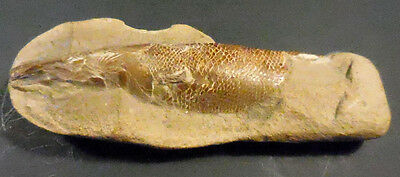 PREHISTORIC PETRIFIED FISH FOSSIL Partially Encased in Stone-3-D GREAT DETAILS