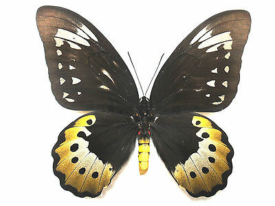 Butterfly Schmetterling ORNITHOPTERA GOLIATH SAMSON (Arfak; mounted female)