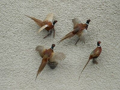 Sale! Ring-neck Pheasant Taxidermy
