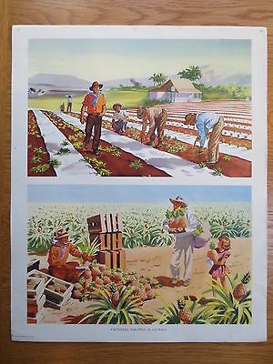 VINTAGE CLASSROOM POSTER Macmillans Cultivating Pineapples Australia 1950s