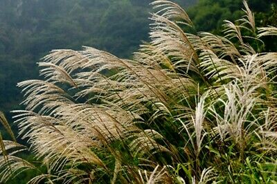 Miscanthus sinensis New Hybrids (Chinese Silver Grass) - 40 seeds.