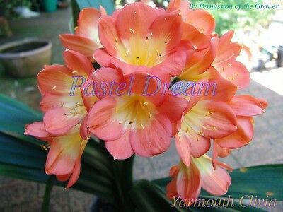 House Plant - Clivia Pastel Dream - 2 Germinated Seeds