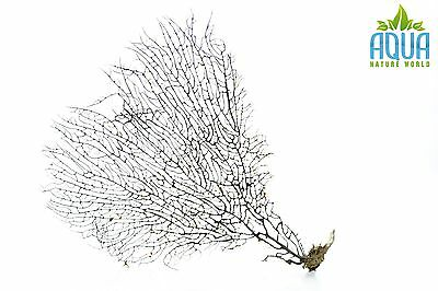(A-4451) Real Atlantic Dried Coral  (Ornament Fish Tank,red moor,bogwood) Size M