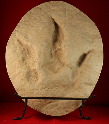 Theropod Fossil Dinosaur Footprint Cast (display stand included)