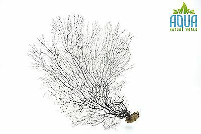 (A-4477) Real Atlantic Dried Coral (Ornament Fish Tank,red moor,bogwood) Size L