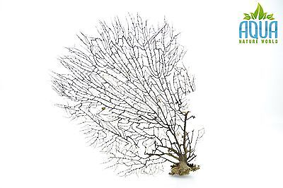 (A-4473) Real Atlantic Dried Coral (Ornament Fish Tank,red moor,bogwood) Size L