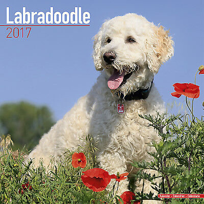 Labradoodle wall calendar 2017. new & wrapped. Full colour