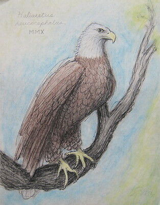 Original Signed Drawing American Bald Eagle Pencil and Conte Crayon on Paper