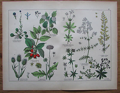ca. 1890 TETRANDRIA alter Druck antique print Botanik Pflanzen flowers