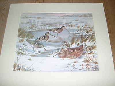 Large Antique Colour Woodcock & Snipe Bird Print 1977 By John Baxendale