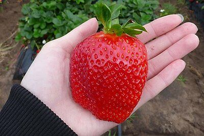 200 Giant Strawberry Seeds RARE Fragaria Ananassa Huge Fruit Organic Heirloom