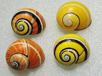 Polymita ] Beautiful Land Snail Lot Of 4 Nice Shells