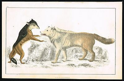GREY WOLF & CAPE JACKAL - ca 1850 Hand-Colored Antique Print - Goldsmith