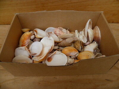 Old Large Lot, Box Full Of Sea Shells Old Craft Shells Collection (C373)