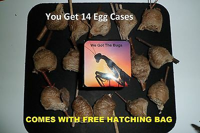 14 FRESH CHINESE PRAYING MANTIS EGG CASES WITH HATCHING BAG  We Got The Bug's