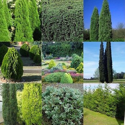 15 Mix Conifer Cypress Pine 4 Types Hedge  Bonsai Tree Groundcover Topiary Plant