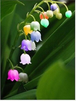 20 X Windbell Orchid seeds Gardening Flowers ORCHID Blooming Flower Plant Seeds