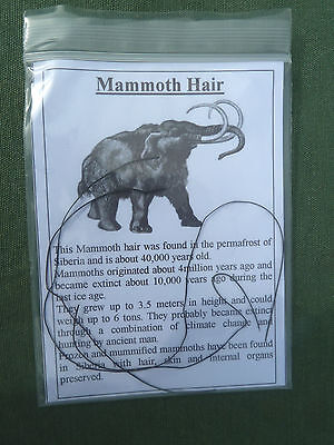 MAMMOTH HAIR Genuine Fossil 40,000 Years